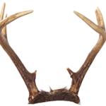 image of white tail deer antlers